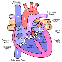 Cardiovascular system the physiology and pathology of the body your heart powers your circulatory system in order to send blood in two directions at once it has two sides also known as chambers ccuart Images